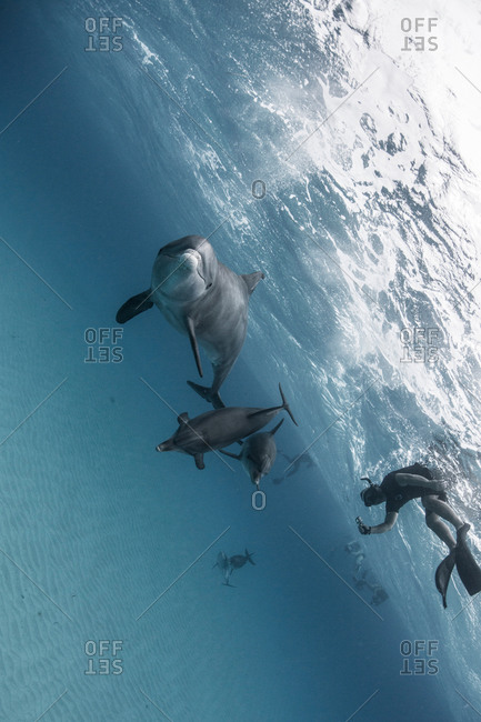 Angled view of atlantic spotted dolphins and scuba divers, Bahama Banks, Bahamas, Caribbean