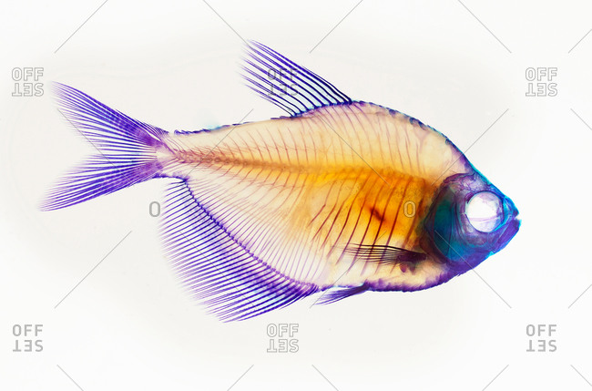 Alizarin red bone stain anatomical fish skeleton of a white finned tetra