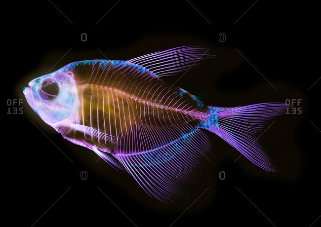 Alizarin bone stain anatomical fish skeleton of a white finned tetra