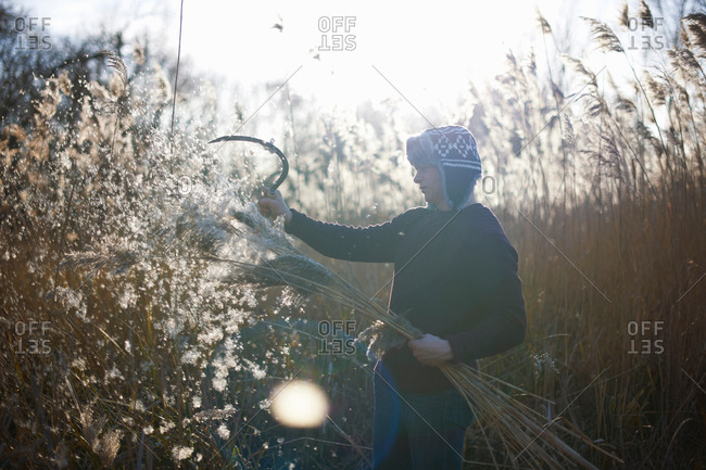 Mature man cutting crops with scythe
