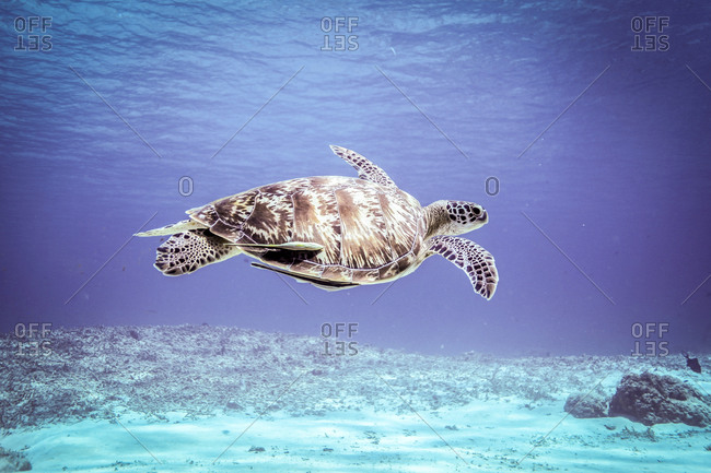 Underwater view of  rare green sea turtle (chelonia mydas) swimming over seabed, Bali, Indonesia