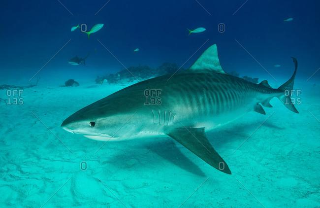 Tiger shark swimming on seabed, Tiger Beach, Bahamas