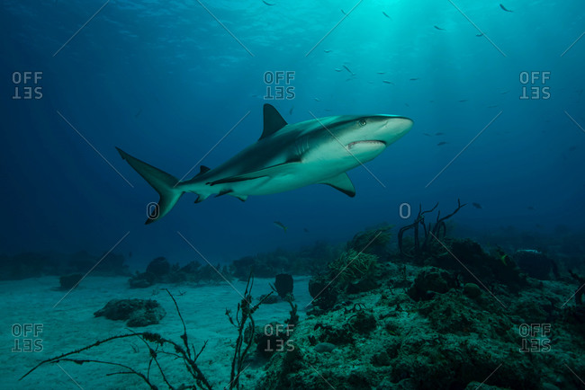 Underwater view of reef shark swimming above seabed, Tiger Beach, Bahamas