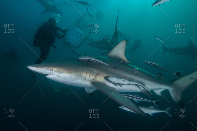 Diver and Oceanic Blacktip sharks (carcharhinus limbatus) gathering at Aliwal Shoal, Durban, South Africa