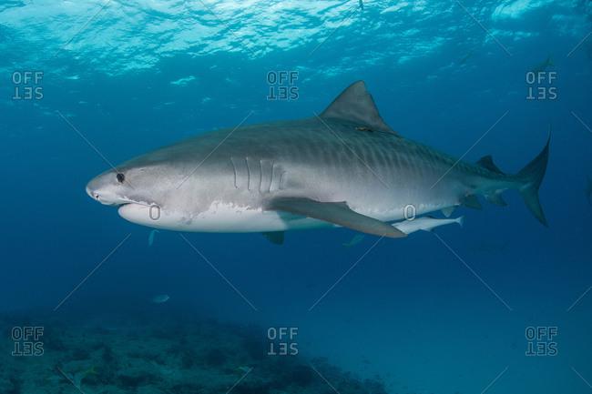 Underwater view of large tiger shark (Galeocerdo cuvier) patrolling reef edge, Northern banks, Bahamas