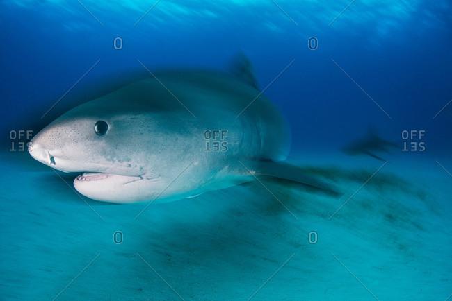 Large tiger shark (Galeocerdo cuvier) patrolling reef edge, Northern banks, Bahamas