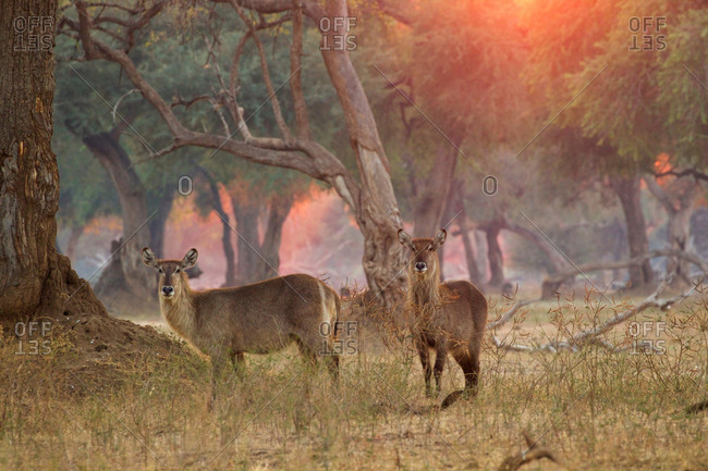 Two female waterbucks (Kobus ellipsiprymnus), Mana Pools National Park, Zimbabwe