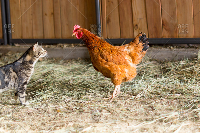 Cat and rooster standing face to face