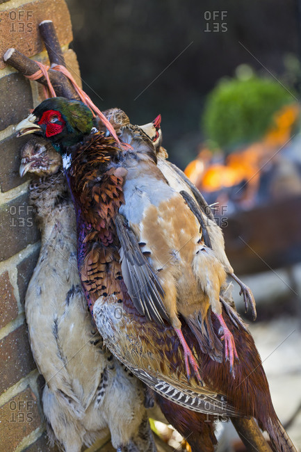 Pheasant and partridge, game bird carcasses with feathers, hung by the neck