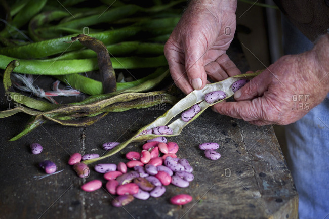 A senior man taking runner bean seeds out of the dried pods