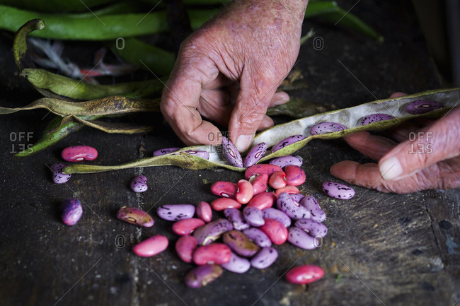 A man taking runner bean seeds out of the dried pods