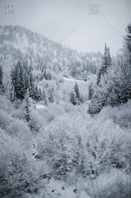 The mountains in winter, view of pine forests in snow