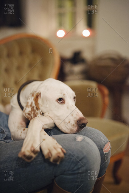 Close up of a large dog with his head on owner's lap