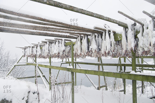Stockfish are hung on a wooden frame to dry, Henningsvaer, Lofoten, Norway