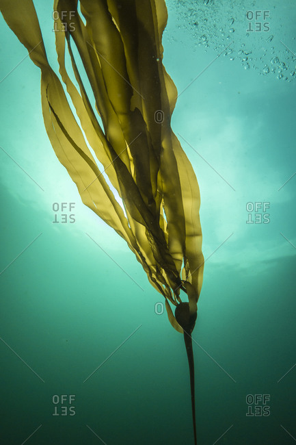 Kelp floating in the sea