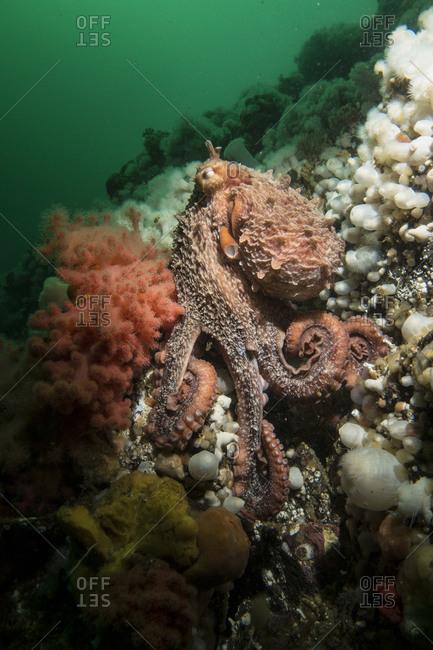 Octopus off Vancouver Island, British Columbia