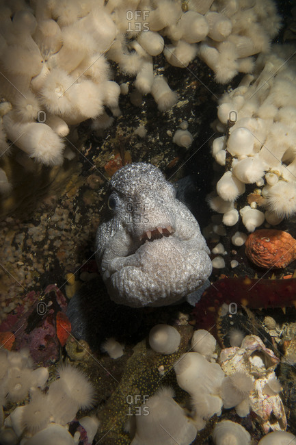 Wolf eel in the Salish Sea, British Columbia