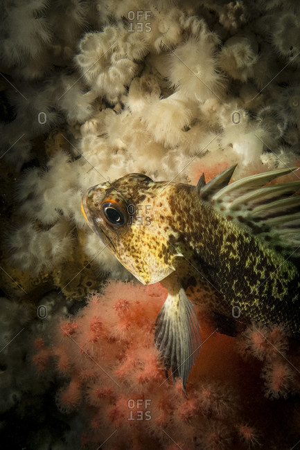 Rockfish in the sea, British Columbia