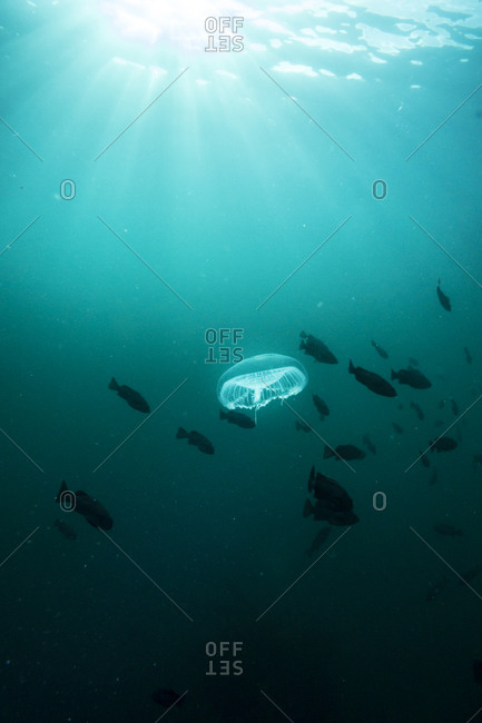 Moon jellyfish among fish