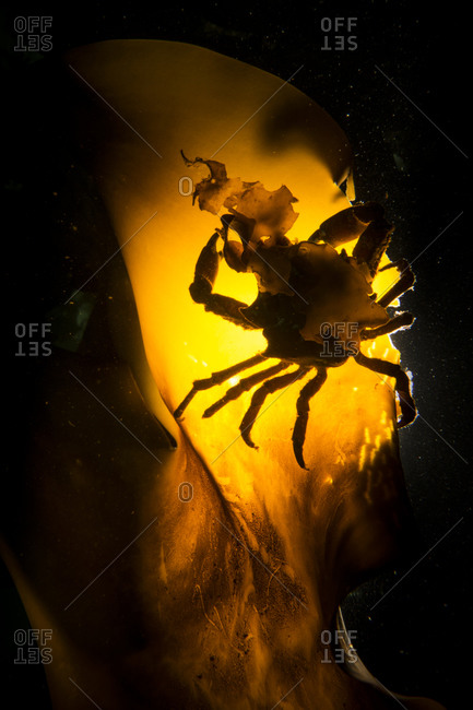 A crab on kelp