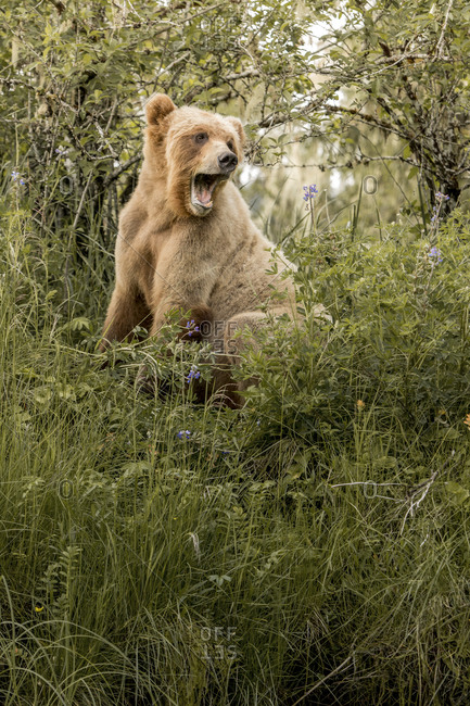 A grizzly bear yawning