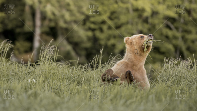 Grizzly bear eating grass blades