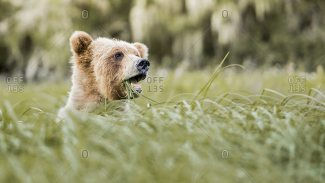 Grizzly bear chewing grass blades