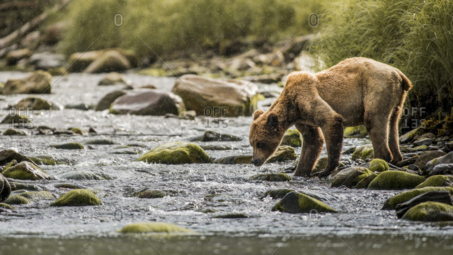 Grizzly bear looking in river
