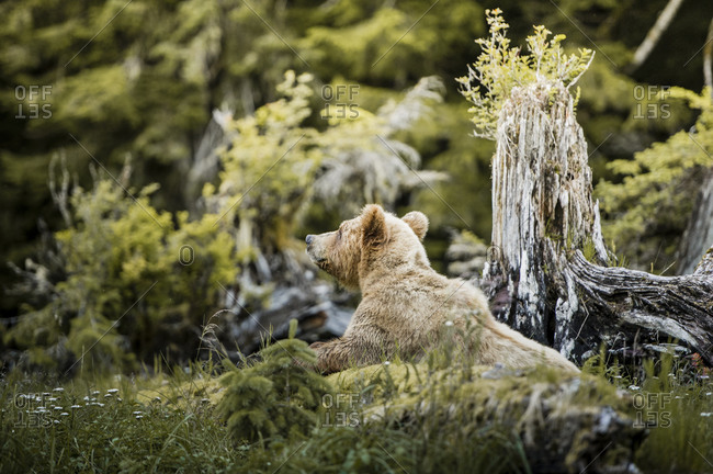 Grizzly bear in Canadian wilderness