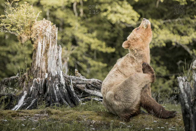 A grizzly bear scratching itself