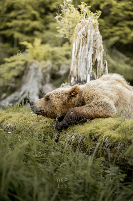 Grizzly bear lying in wilderness