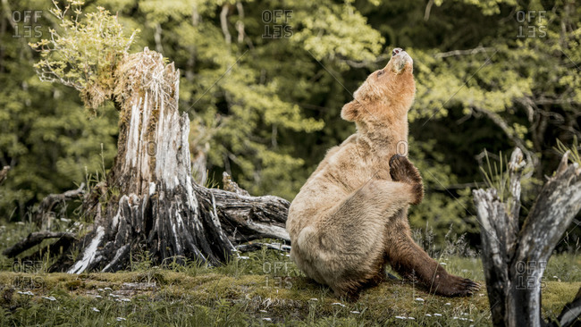 A grizzly bear scratching fur