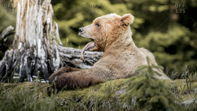 Grizzly bear lying and yawning