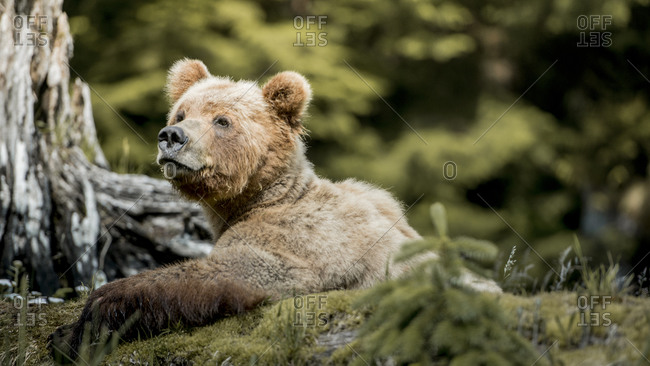 Grizzly bear in wilderness setting