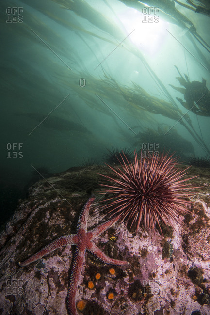 Sea star and urchin in sea
