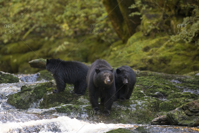 Black bears fishing in river