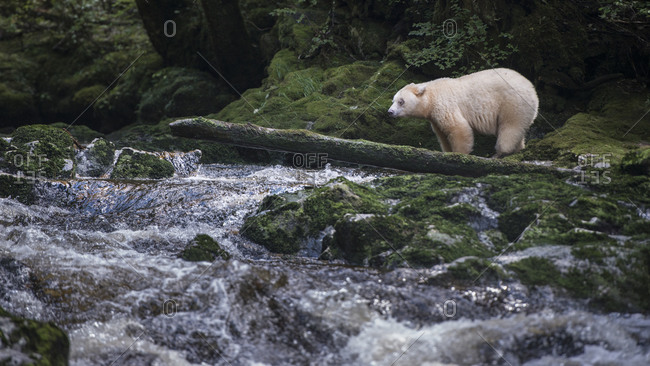 Kermode bear on river shore