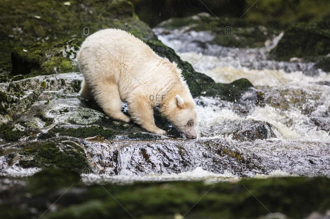 A Kermode bear on river