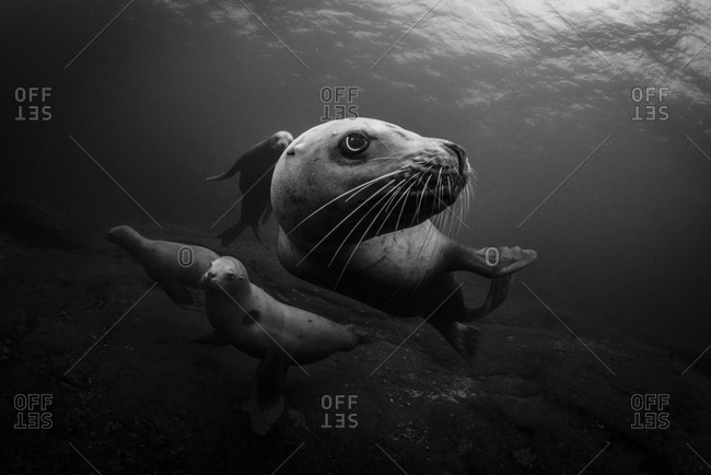 Steller sea lions swimming in sea