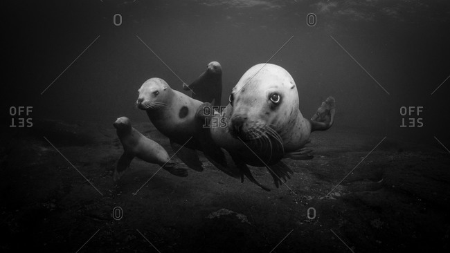 Steller sea lions swimming underwater