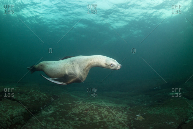 Steller sea lion underwater, Canada