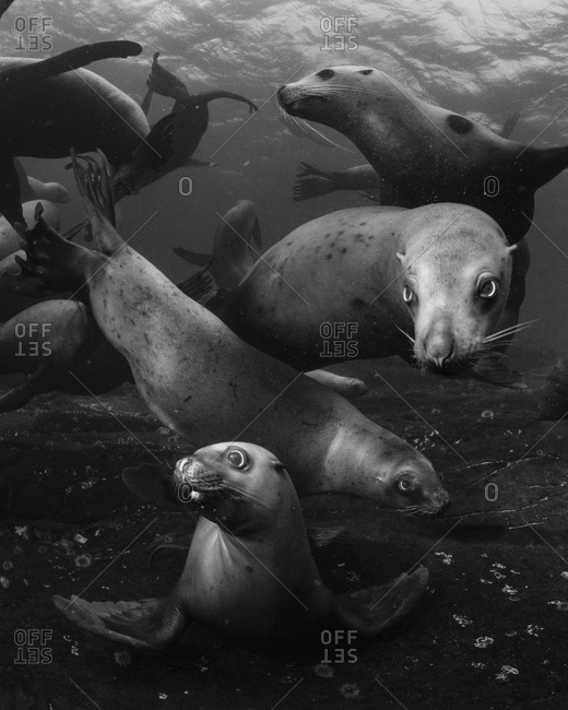 Sea lions swimming in sea