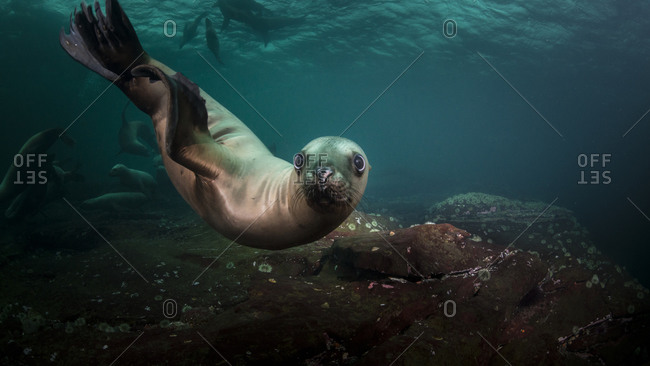 Sea lions swimming underwater