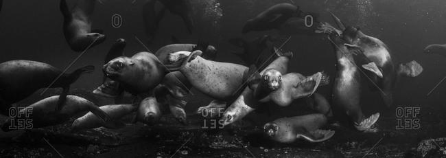 Sea lions underwater, Canada