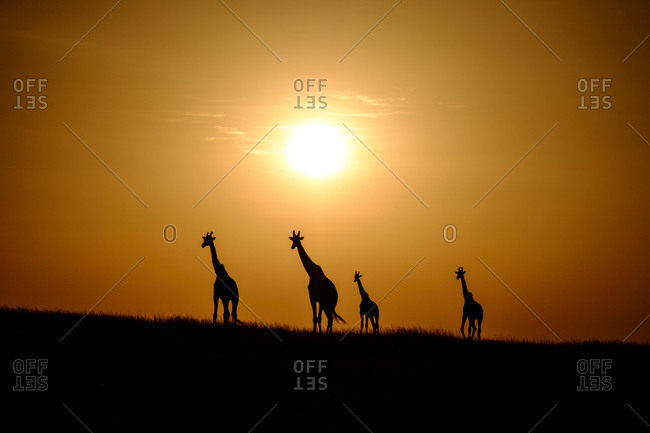 Giraffes silhouetted by sun, Kenya