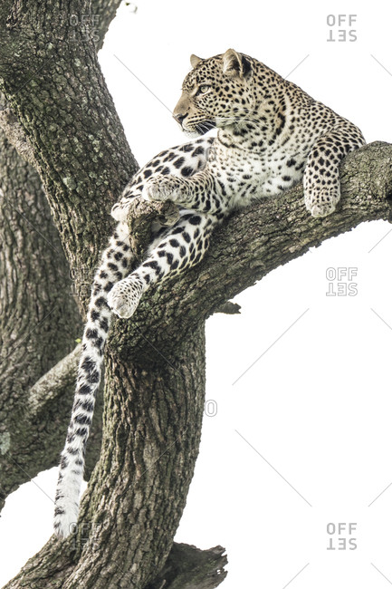 African leopard lying in tree