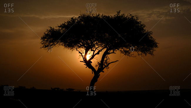 Leopard silhouetted in tree