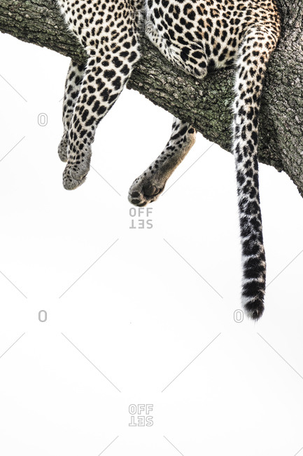 African leopard on tree branch