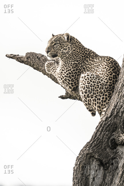 African leopard in tree, Kenya