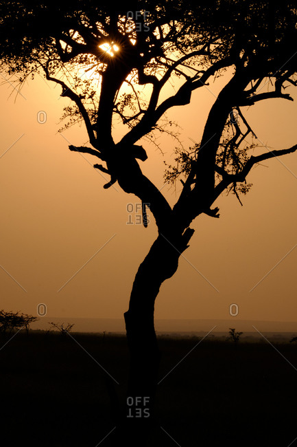 Leopard in tree at sunset, Kenya